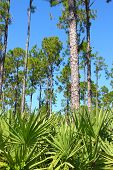 picture of saw-palmetto  - The beautiful pine flatwoods of central Florida on a sunny day.
