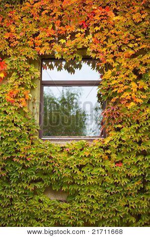 Wand mit farbigen Herbst-Rebe und Efeu überwachsen