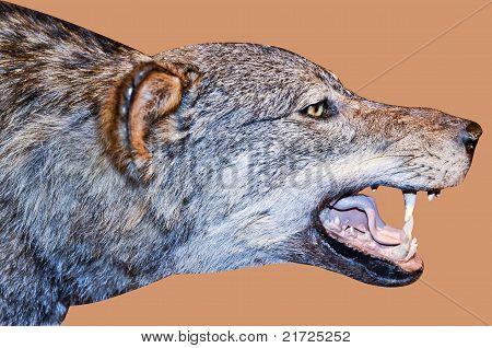 detail of the face of a wolf, taxidermy