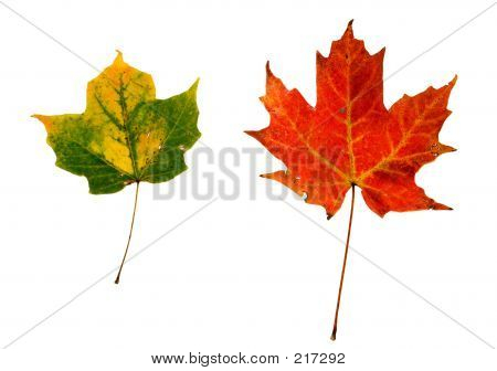 2 Leaves Isolated