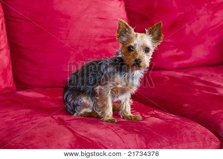 Yorkie Terrior Puppy