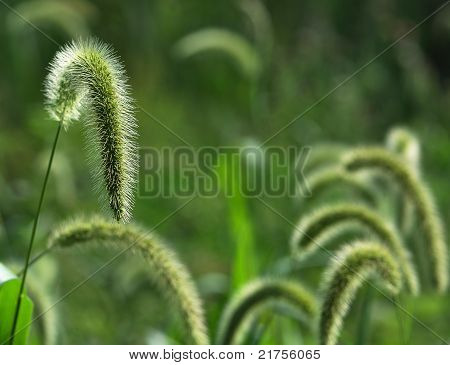 Blowing Foxtail Grass Seed Heads