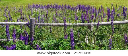 Purple Lupines Along A Rail Fence