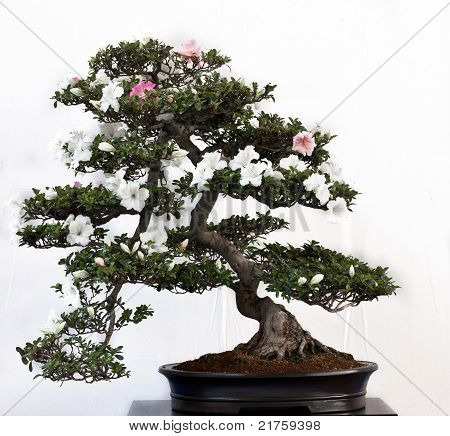Rhododendron Indicum As Bonsai Tree