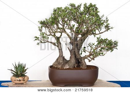 Olive Tree As Bonsai