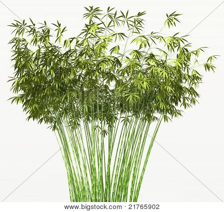 Bamboo Bush Or Tangle Isolated