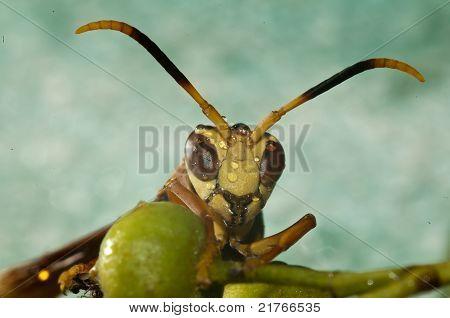 Extreme macro wasp.