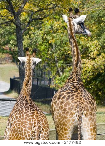 Giraffes On The Lookout