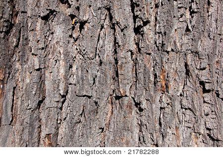 Corteza de un árbol de nuez como fondo