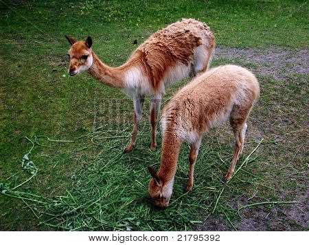 Two llamas eating grass