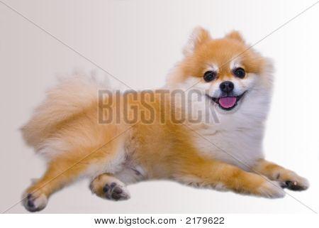 Cute Pomeranian Puppy Dog 1