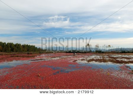 Cranberry Bog In The Cranberry Harvesting Season