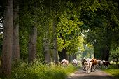 Dutch Country road  with cows and trees , Netherlands. Cows are on their way for milking poster