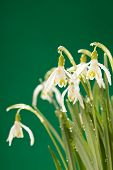 pic of snowbell  - Snowdrop flowers - JPG