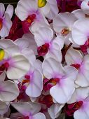 White Hothouse Orchids