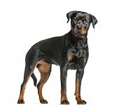 rottweiler dog, guard dog standing and looking at the camera, isolated on white poster