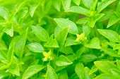 picture of piccolo  - Green piccolo basil growing on a vegetable patch - JPG