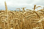 Agricultural Fragmental Panorama Of The Wheat Field. Ripe Wheat And Wild Flowers Close-up. Shallow D poster