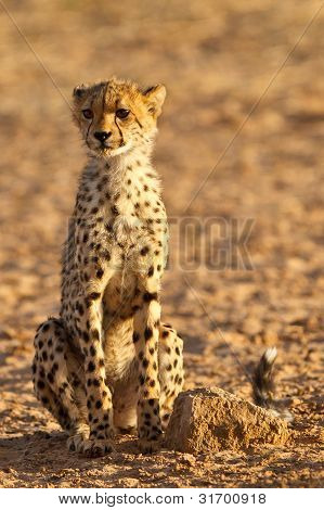 Cheetah in morning sun