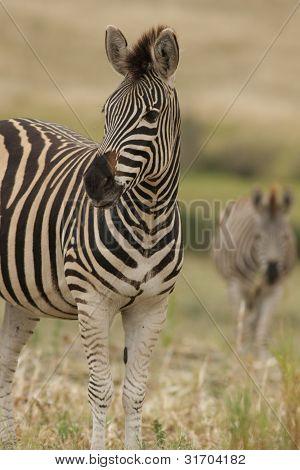 Burchell zebra in addo,south Africa