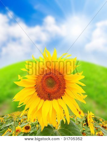 Sunflower (Helianthus annuus) Sunflower oil, extracted from the seeds, is used for cooking, as a carrier oil and to produce margarine and biodiesel.