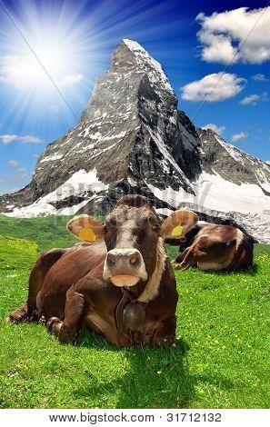 Kuh liegend in der meadow.in den Hintergrund der Matterhorn Schweizer Alpen