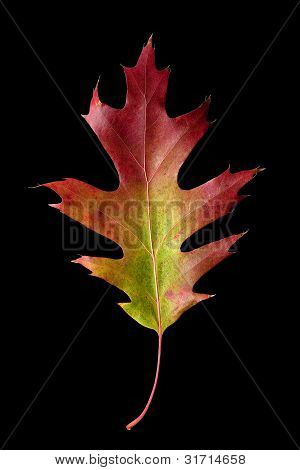 Oak Leaf 3 With Clipping Path