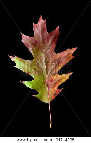 Oak Leaf 4 With Clipping Path