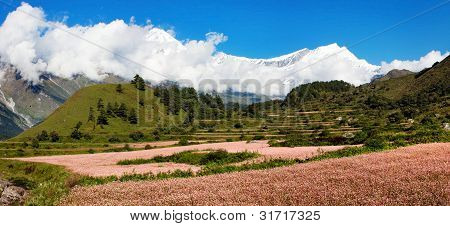 view from annapurna himal to dhaulagiri himal with buckwheat field