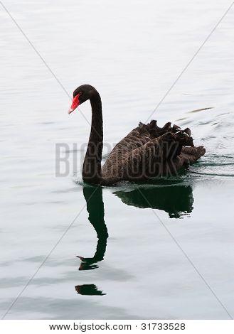 Black swan swim in lake in Lake Eola in Downtown Orlando, Florida.