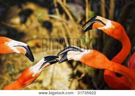 Flamingos Social Birds