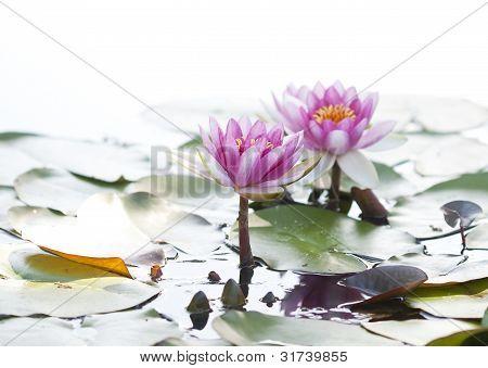 Watter lilies