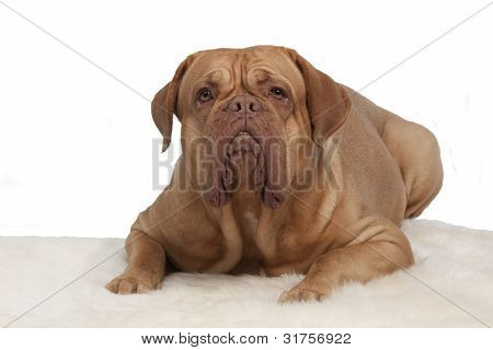 French Mastiff on white fur carpet isolated