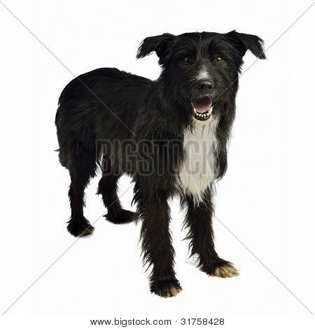 Perro de raza mixta Shaggy aislado en blanco