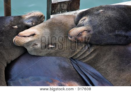 Sleeping Sealions