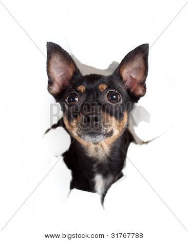 toy terrier dog in paper side torn hole isolated