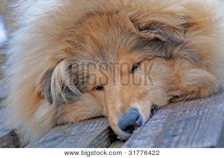 Head Of A British Collie Dog