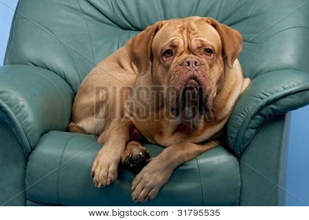 Cute wrinkled dog on arm-chair, studio shot