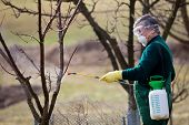 Using chemicals in the garden/orchard: gardener applying an insecticide/a fertilizer to his fruit sh