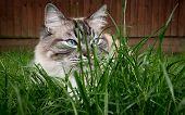 Pedigree Ragdoll Cat Sitting On Grass Lawn poster