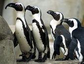 Постер, плакат: Пингвины в линии