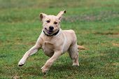 Excited Yellow Labrador Puppy Showing Great Enthusiasm While Running Full Speed At Dog Park. poster