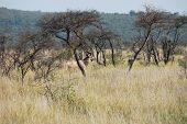 A Beautiful Landscape Of The South African Bush With A Majestic Greater Kudu Bull Hiding In The Tree poster