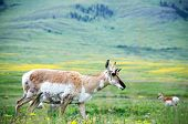 Antelope Standing In Green Lush Field In Wilderness poster
