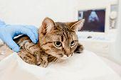 Veterinarian Examining Cat Using Ultrasound In Vet Clinic poster