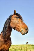 Profile of Domestic Horse poster