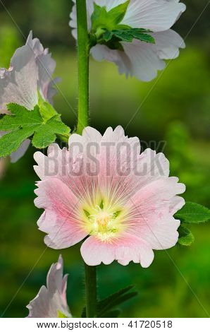 Hollyhock Flower.