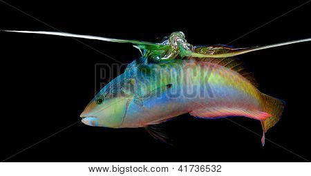 Wrasse On Black Background