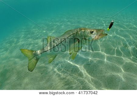 Snook In Ocean Chasing Lure