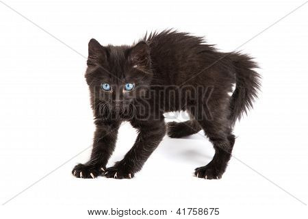 Frightened Black Kitten Standing On A White Background
